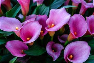 Calla Lilies In Flower Park