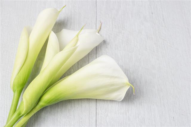 Elegant Spring Flower Calla Lily