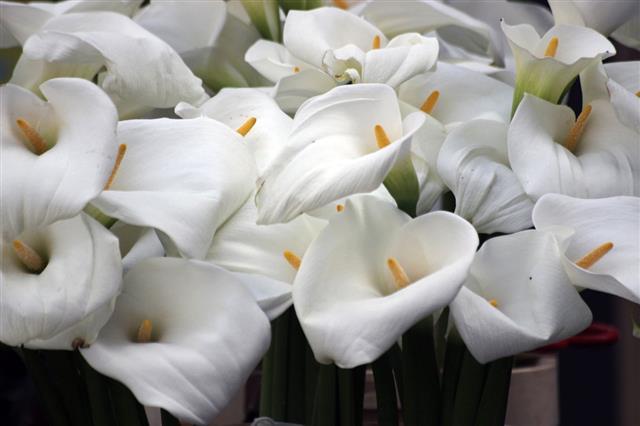 Kalla Flowers
