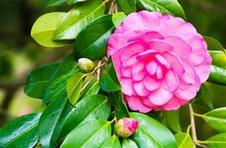 Fuchsia Camellia