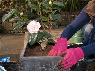 Planting A Camellia
