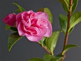 Pink Camellia Macro