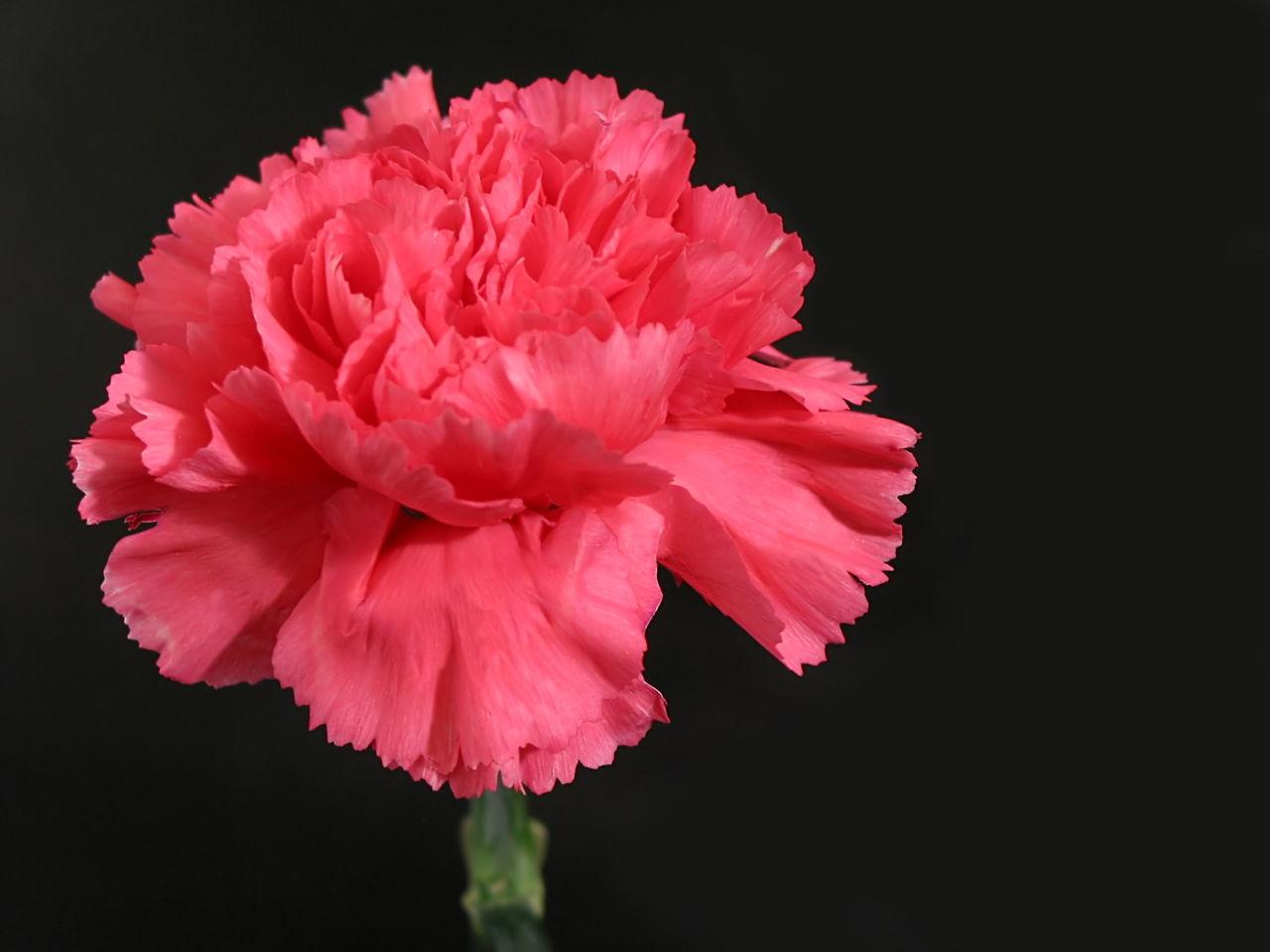 What do red carnations symbolize image collections symbol and what do different flowers symbolize pink carnation flower buycottarizona biocorpaavc