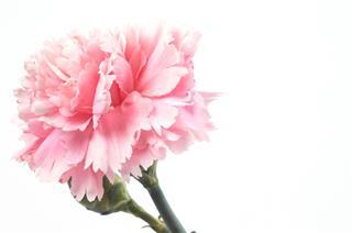 A Single Pink Carnation