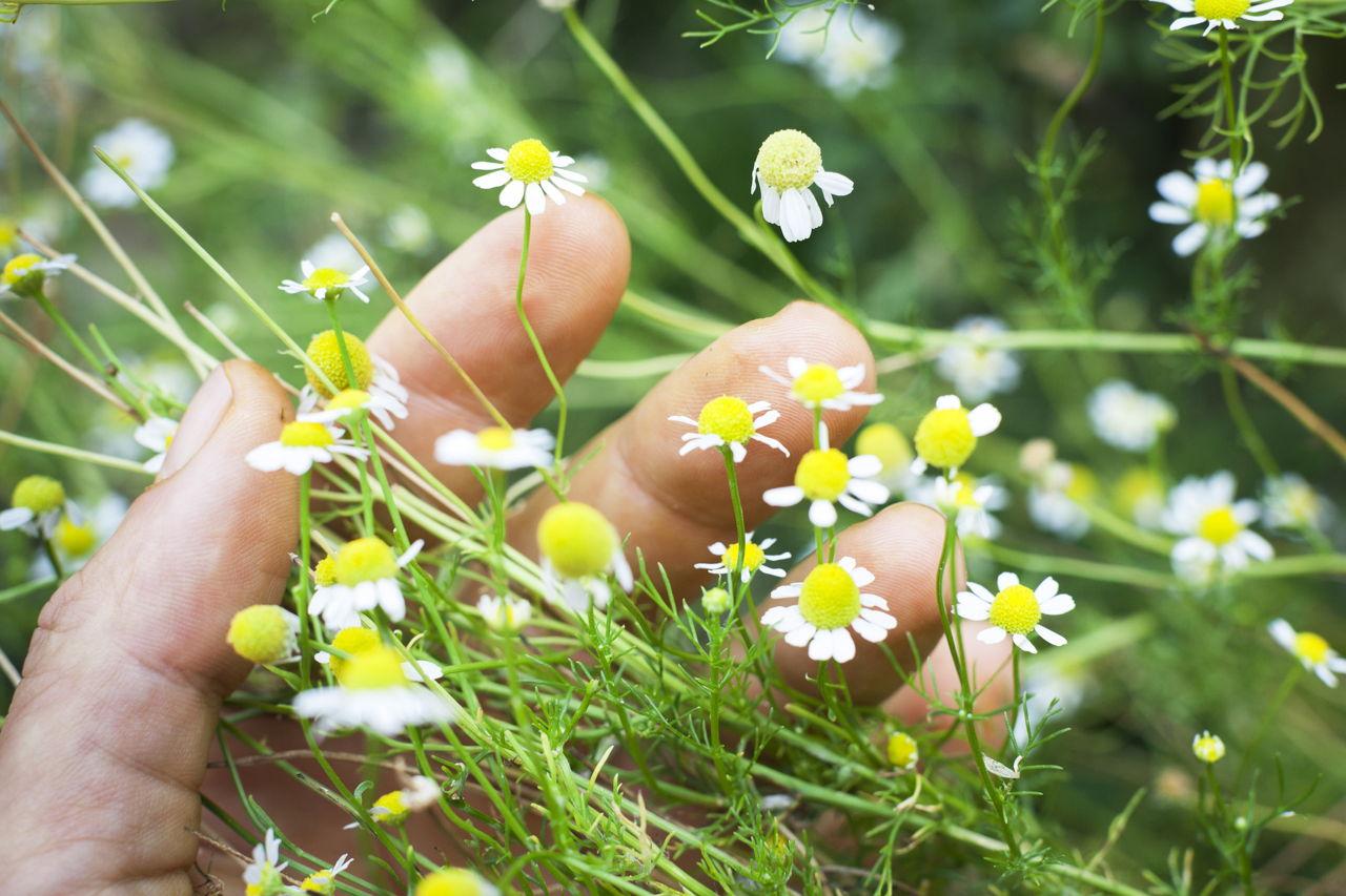 Chamomile: useful properties. Eyebrow Grass