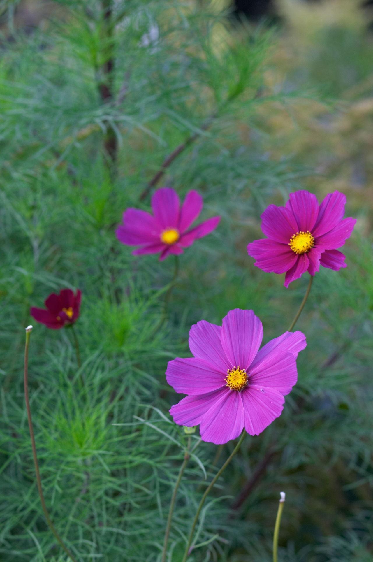 Purple Violet Chamomiles