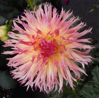 Chrysanthemum Flower Closeup
