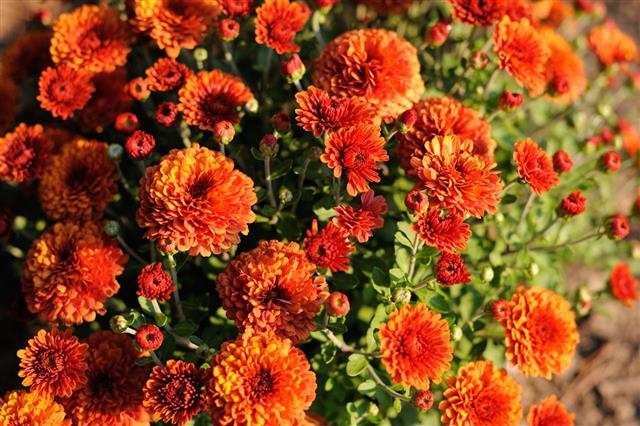 Chrysanthemum In Autumn