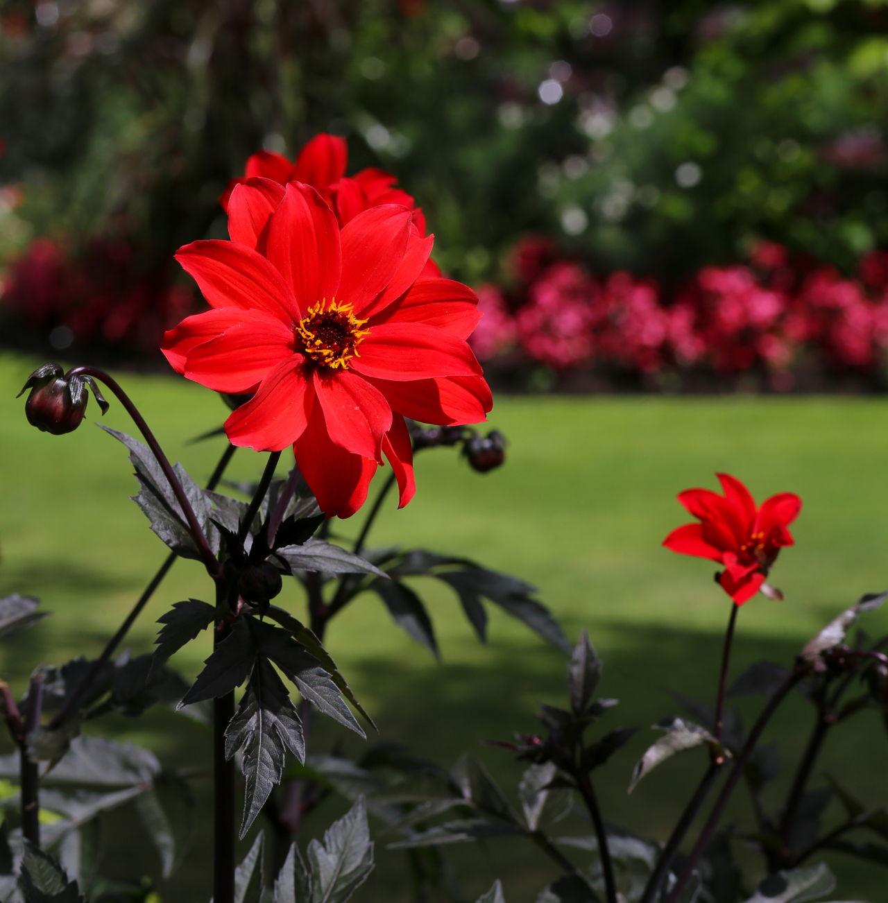 When To Plant Dahlia Bulbs