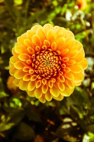 Yellow Dahlia Macro