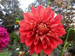 Saffron Dahlia