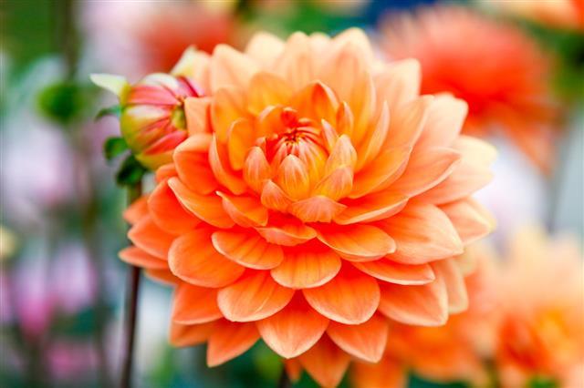 Dahlia Orange Flowers
