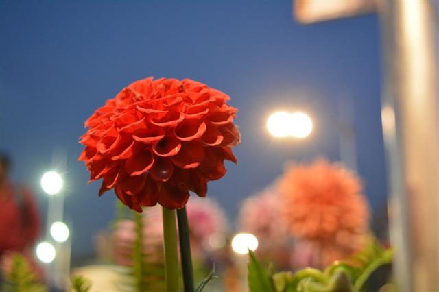 Ball Dahlia Flower