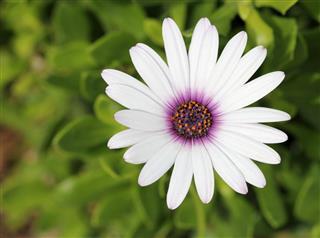 White African Daisy Flower