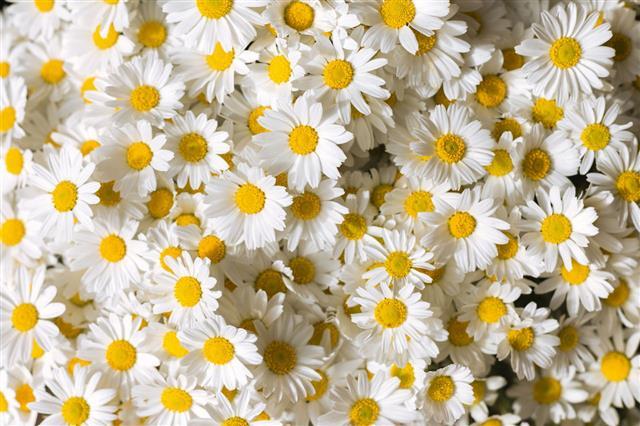 Daises Flowers