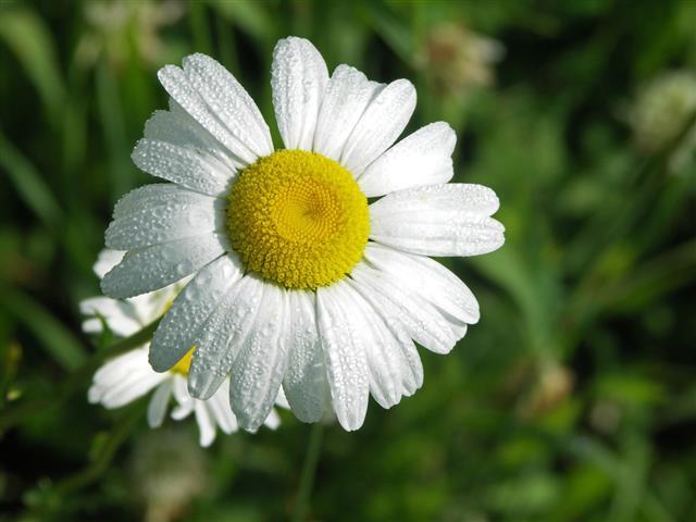 Dew Drop Daisy