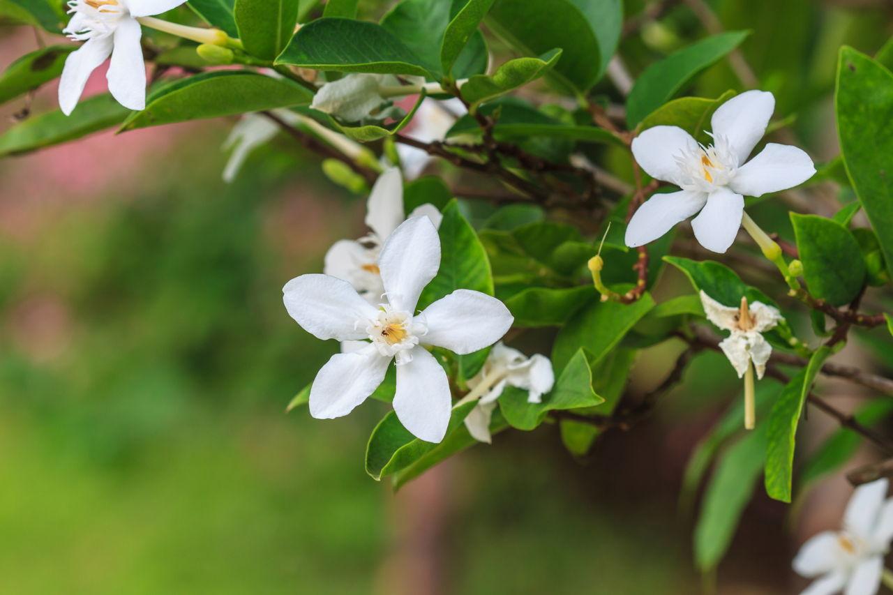The symbolic meaning of gardenia flowers you always wished to know gardenia flower mightylinksfo