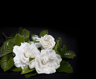Trio Of Beautiful Gardenia Flowers