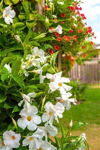 Climbing Gardenia