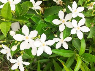 Gerdenia Crape Jasmine Flower