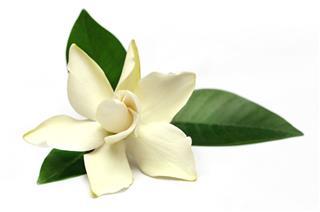 Gardenia Flower Of Southern Asia