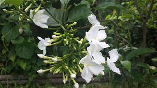 Flowering Gardenias