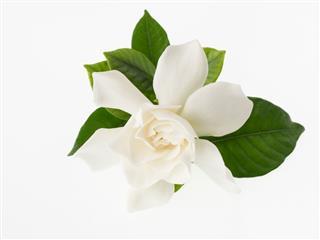 Beautiful White Gardenia