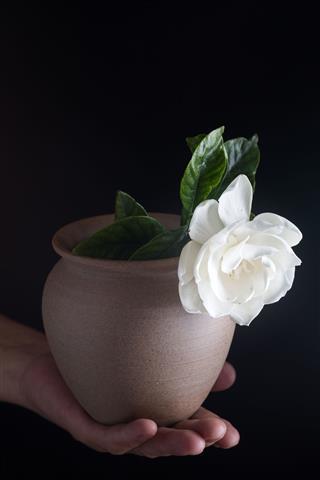 Gardenias Studio Shot