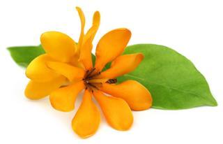 Pinwheel Gardenia