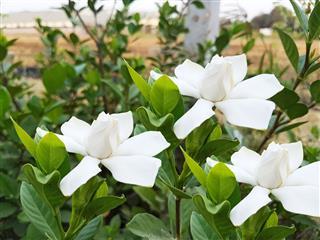 White Glorious Gardenia Blossom