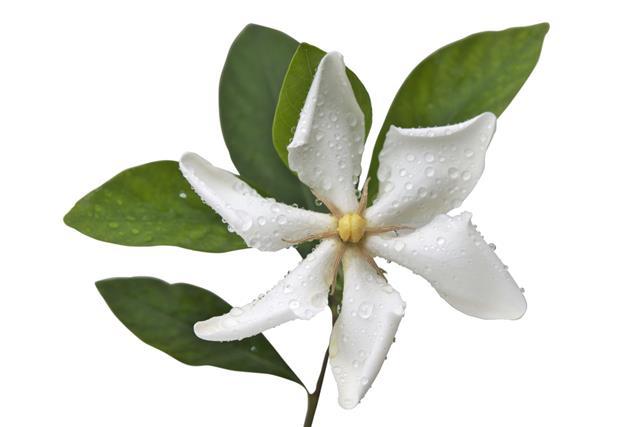 White Cape Jasmine