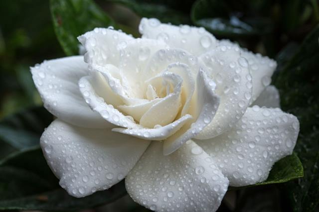 Gardenia Macro