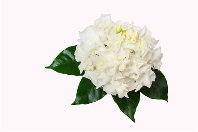 Bouquet Of White Gardenia Jasminoides Flower