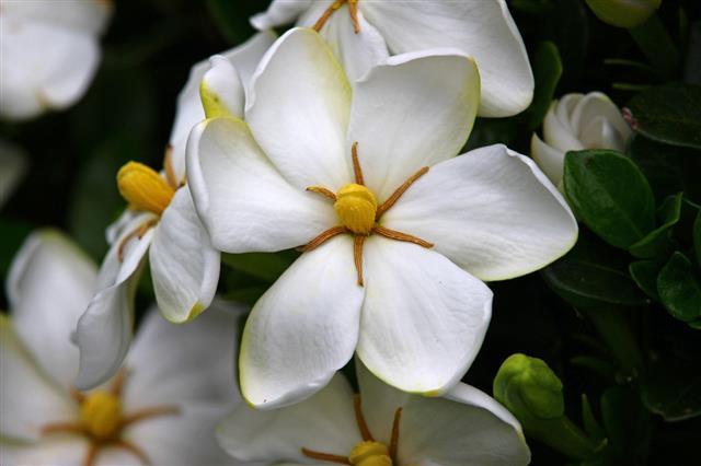 Glow Of The Gardenia