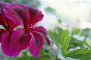 Flower Geranium