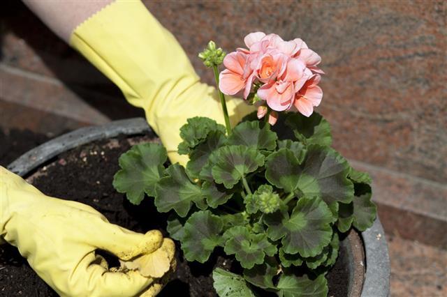 Geraniums In Flowerpot Plant