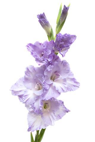 Lilac Gladiolus