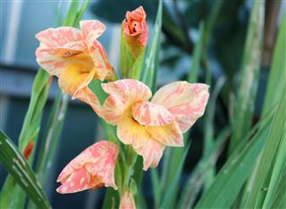 Creamy Striped Gladiolus Flowers In Garden