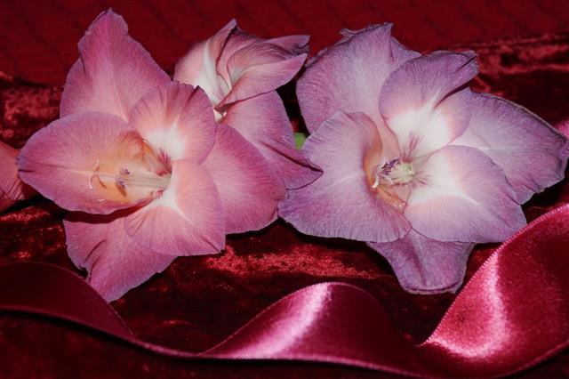 Pink Gladiolus And Silk Glossy