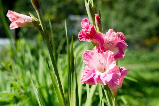 Pink Gladiolus In Garden