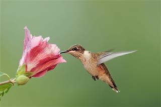 Hungry Ruby Throated Hummingbird