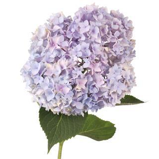 Purple Flower Hydrangea