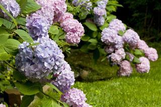 Hydrangea Clusters In Garden