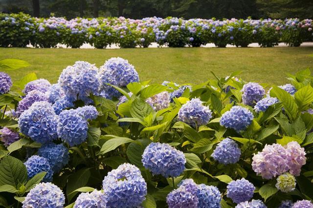 Pretty Purple Hydrangea Bushes