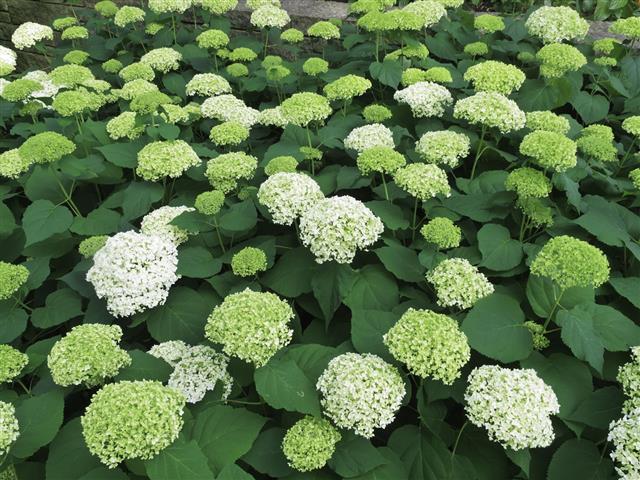 Flowering Hydrangea Shrubs In Summer