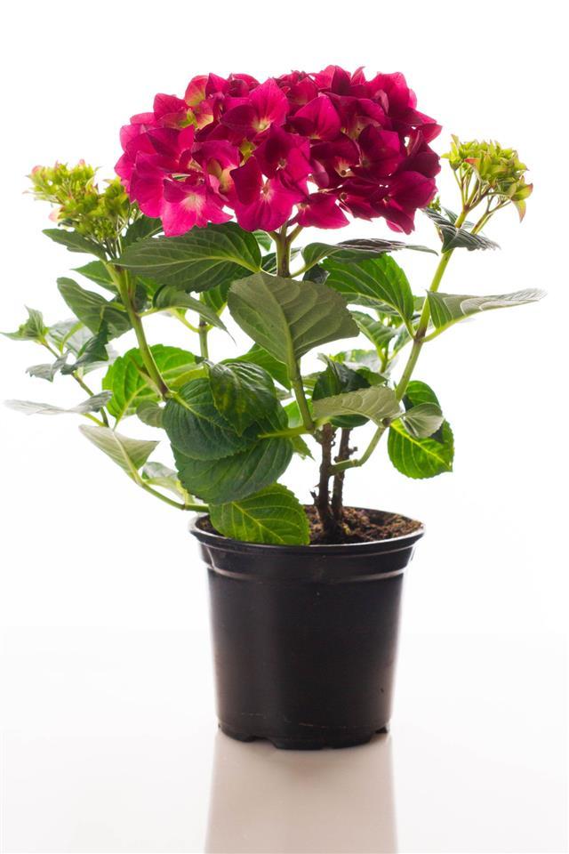 Red Hydrangea Flower In A Pot
