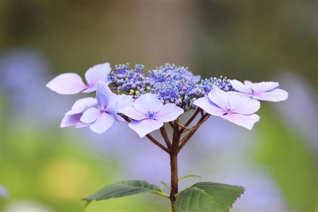 Pale Blue Hydrangea Flowers