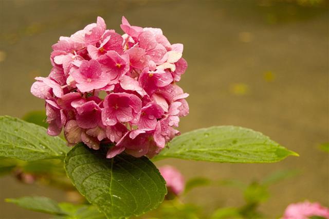 Rainy Day Hydrangea