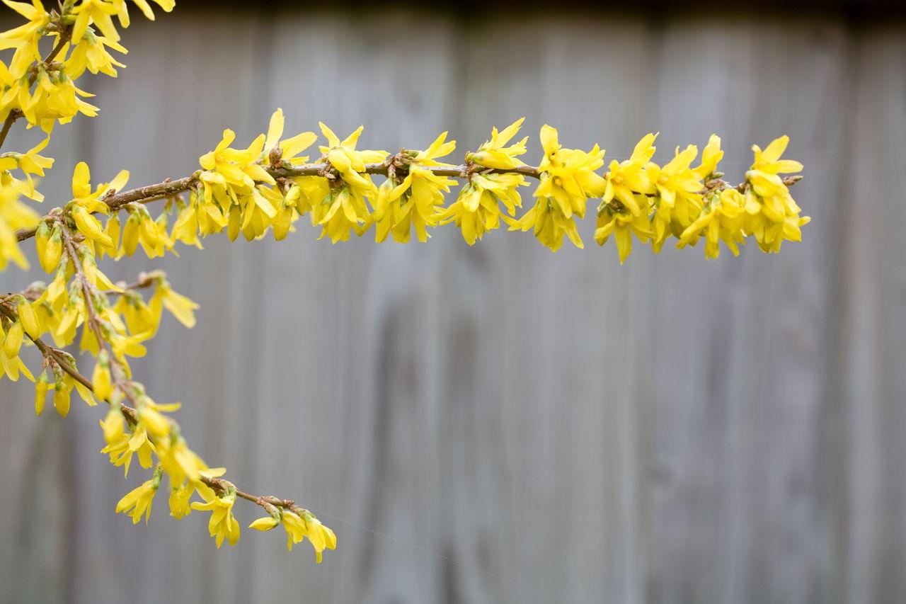 A stunning list of jasmine plant varieties flowering winter jasmine izmirmasajfo
