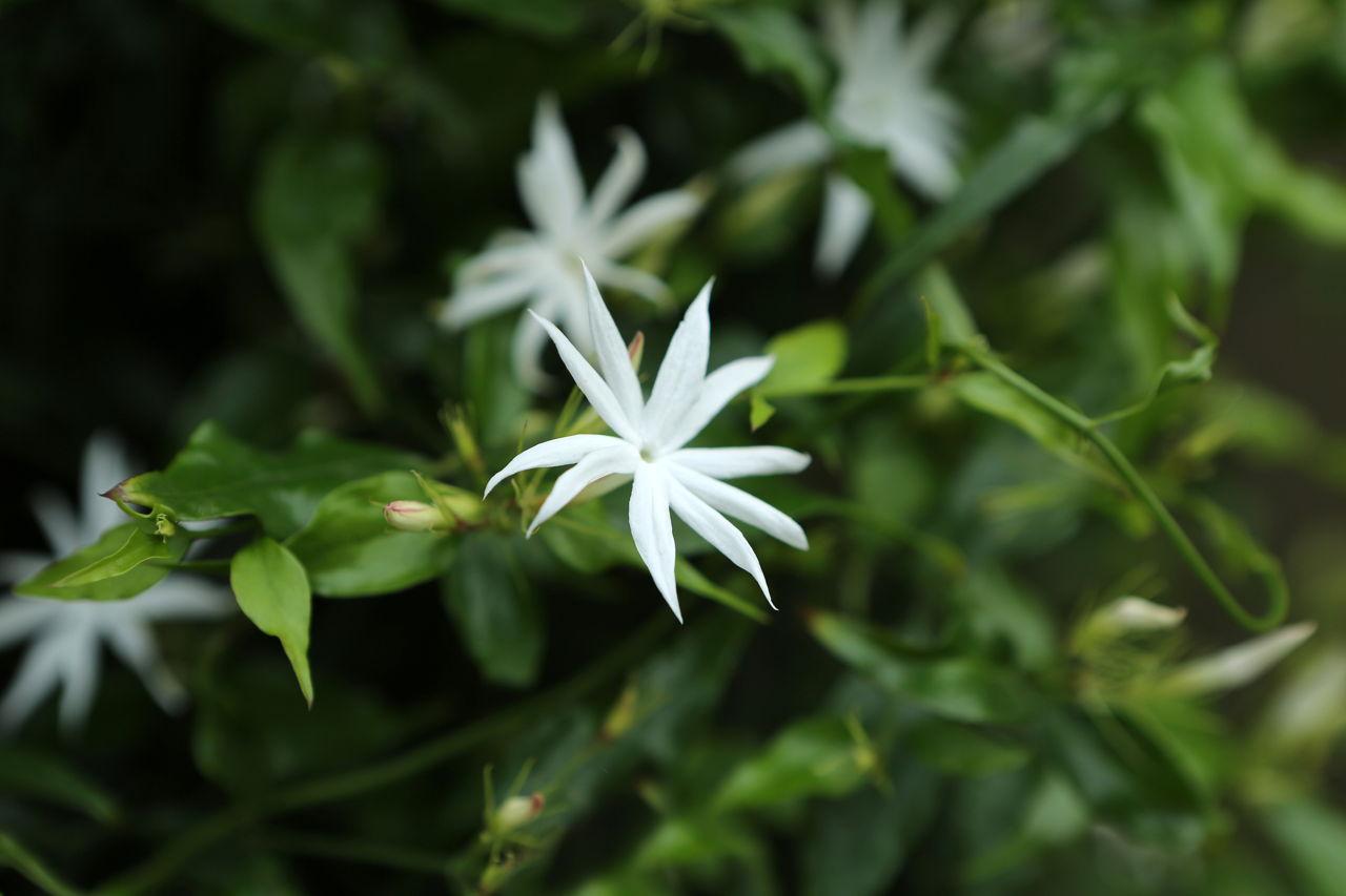 Your guide to planting and maintaining asiatic jasmine plants jasminum multiflorum izmirmasajfo